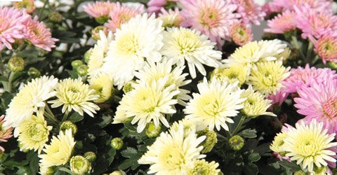 Chrysanthemen im Blumenparadies